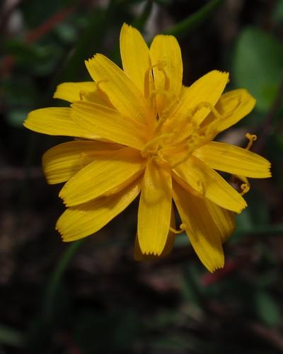 Asteraceae 03