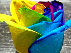 bast of color (Liberated Soul Photography) Tags: life blue flower color green love beautiful rose yellow purple heart bright affection live grow deep vivid tie dye meaning grown