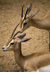Palabras silenciosas, momentos nicos (Javier_Lpez) Tags: barcelona espaa brown animal animals zoo spain nikon lopez javier marron barna gacela d60
