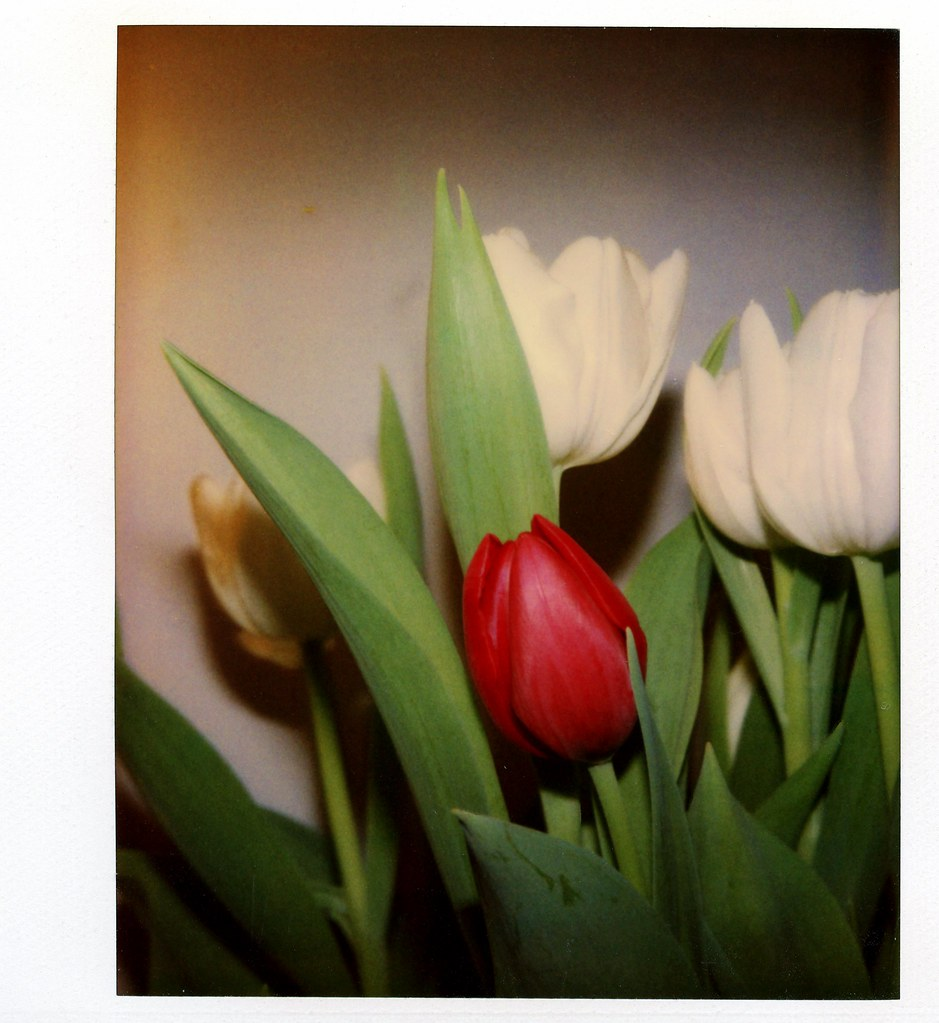 One Red Tulip in White Bouquet