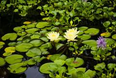 Lilly pads (Cat Girl 007) Tags: green backyard rhodeisland cranston atmophere davespond