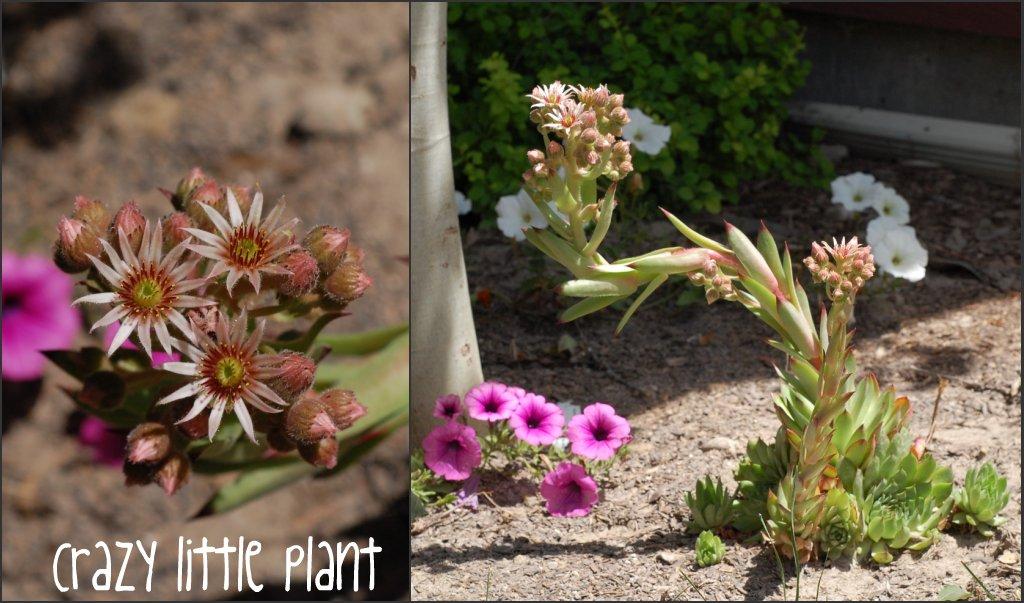 crazy little plant