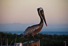 pelican (stilllearning1) Tags: ocean sunset seagulls beach pelicans nature water birds sand beachnatureocean
