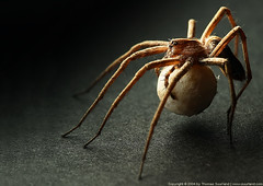 Spider (Thomas Suurland) Tags: macro closeup insect spider eggs suurland thomassuurland