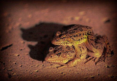Southern leopard frogs