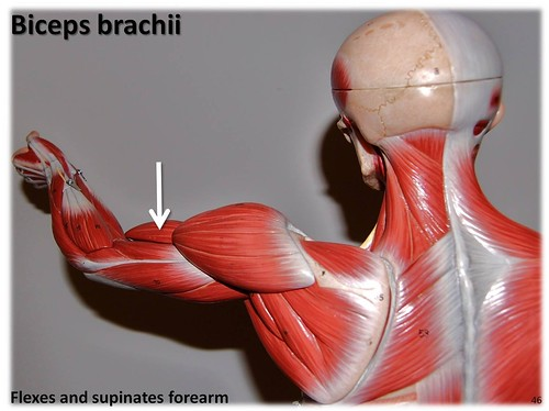 Biceps brachii - Muscles of the Upper Extremity Visual Atlas, page 46