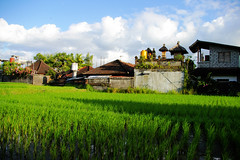Cafe View in Ubud (cwgoodroe) Tags: bali chicken blanco birds museum indonesia dancers rice feathers statues peacock carvings patties ubud legong paddies padies