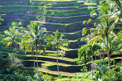 Bali Rice Terrace (cwgoodroe) Tags: new old school summer bali sun stone kids children indonesia rice statues agriculture mountians patties riceterraces ubud seminyak batubulan