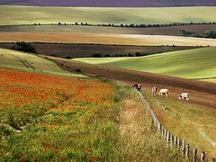 Sussex Summer Fields (Yaroslav Staniec) Tags: uk trees summer england field fence walking landscape photography countryside cow cattle cows britain olympus hills poppies leisure eastsussex poppiesfield landscapepictures yaroslavstaniec