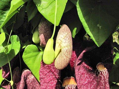 20100804-rq-07-aristolochia gigantea