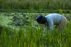 Farmer (Beckie's photography) Tags: bali farmer ricefields