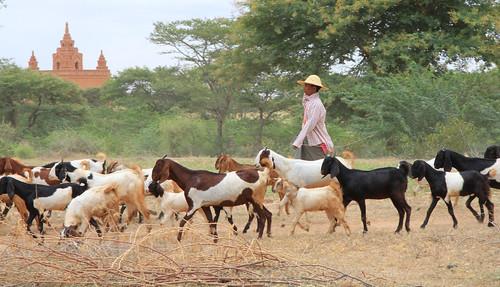 Goatherd Bagan