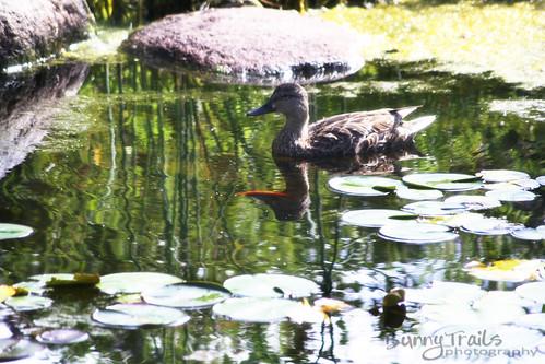 213-duck