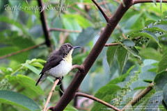 Purple-rumped Sunbird (Male) [Moutoshi] (- Ariful H Bhuiyan -) Tags: bird bangladeshi purplerumpedsunbird nectariniazeylonica ef85mmf18usm birdsofbangladesh canoneos7d moutoshi gettyimagesbangladeshq3