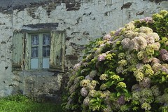 le de Ouessant old house with hydrangea (Carsten aus Bonn) Tags: film 32 minoltax300s