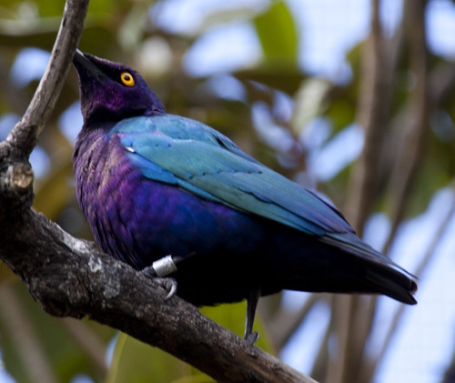 Glossy-starling Blue and Purple Bird 2