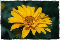 Sonnenauge, gelb (Rrruthie2) Tags: projekt farbenpracht