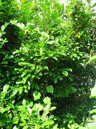 Potimarron dans l'arbre