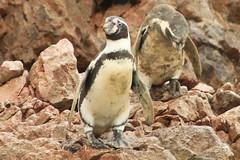 Islas Ballestas - Perú
