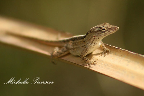 Brown Anole on Tressel Path