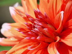 The Heart of the Sun (David S Wilson) Tags: uk dahlia red garden ely 2010 awesomeblossoms panasonicg1 leica45mmf28macro