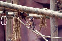 Little monkey. (By Aniek Photography) Tags: baby macro canon zoo monkey bokeh 300mm babymonkey canon300mm ouwehandszoo dgawc