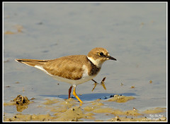 Little-ringed Plover (Rey Sta. Ana) Tags: wild white bird eye heron birds photography bay ana pics wildlife low philippines flock ducks rail kites manila rey land birdsinflight subic coron eagles dinosaurs waders cuckoo avian sta waterbirds bif palawan eastwood sunbird shrike philippine wildbirds bestshots ternate drongo mantarey coucals candaba staana avianphotography midoro 672178186 923681625 360351256 596691615 philippinebirds reysa bestimages philippinescenery birding2010 mtkalaonpark philippinebirdphotography reystaana