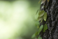 I Found the Bokeh Button. (ethics_gradient) Tags: ltm tree digital tampa leaf florida bokeh bark canon100mm leicathreadmount leicaadapter leicamadapter sonynex3 canon100mmf2ltm