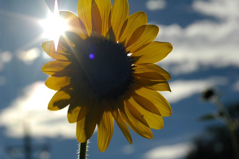Sunflower with Sun