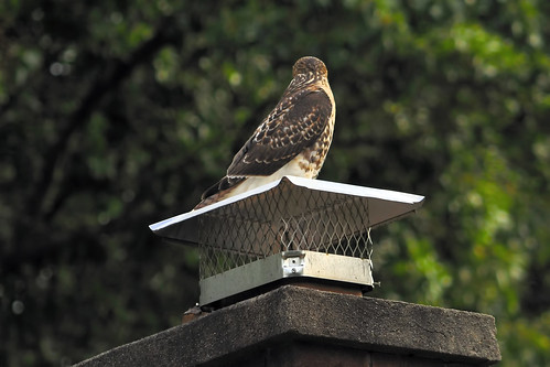 red tailed hawk chimney V 8 2008