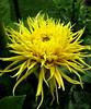 """""""Encore!"""" (Puzzler4879) Tags: dahlia yellow yellowflowers lids dahlias encore canonpowershot canondigital bayardcuttingarboretum bayardcuttingarboretumstatepark canonaseries floralfantasy canonphotography wonderfulphotos newyorkstateparks perfectpetals yellowdahlias a580 dahliaencore dahliagardens canona580 canonpowershota580 powershota580 longislanddahliasociety longislandstateparks weloveallflowers fimbriateddahlias"""