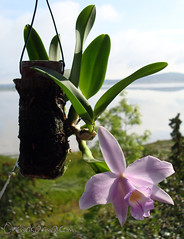 Cattleya Dahlenburg Mini