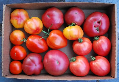 Mid August Tomato Harvest 2