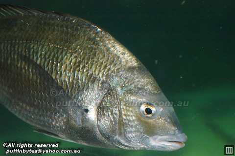 Southern Black Bream - Acanthopagrus butcheri