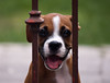 Cachorrita (Luis E. Argote B.) Tags: dog méxico puppy mexico perro cachorro boxer monterrey
