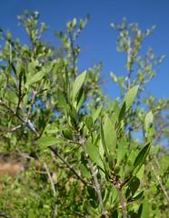 desert olive