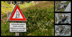 The most dangerous animal in the Alps. (Palentino) Tags: mountain alps animal fauna danger alpes austria sterreich peligro montaa signal marmots seal achtung grossglockner marmotas