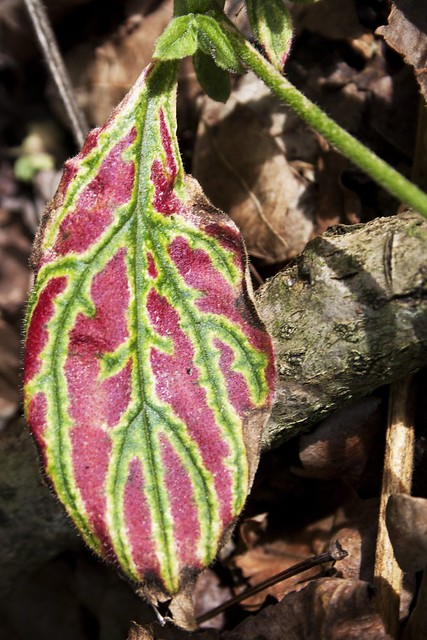 plant with colored leaf