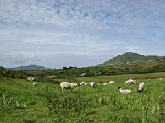 Ring of Kerry un jour paisible (JMVerco) Tags: ireland landscape sheep paysage legacy mouton paesaggio irlanda irlande pecora dragondaggerphoto