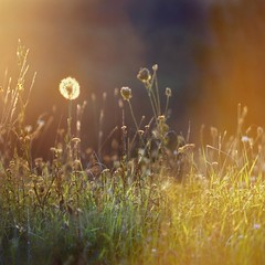 untitled . (helmet13) Tags: sunset nature raw bokeh meadow dandelion studies selectivefocus d90 peaceaward heartaward platinumpeaceaward