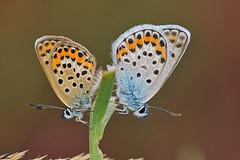 Plebejus argus (Celestinocosta) Tags: portugal butterfly capture lagarta borboletas selvagem plebejusargus bougado celestinoocosta tordozonal tripleniceshot mygearandmebronze mygearandmesilver