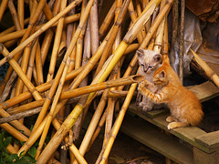 Curiosidad / Curiosity (Shawnito) Tags: orange cats playground cat corua siamese kittens olympus bamboo galicia juego siames bamb naranja e1 zuiko gatito boiro zd50200 bestofcats kittyschoice 50200swd catmoments abanqueiro boc0810