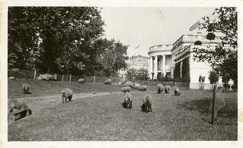 President Wilson's Sheep at White House, 1919, by Martin A. Gruber, Black-and-white photograph, Smit