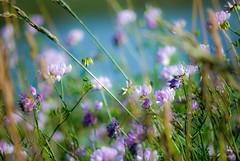 The World's Tenderness (Majorlight) Tags: world pink summer inspiration blur green nature beauty seaside soft purple wildflowers tenderness nabokov depthoffocus majorlight