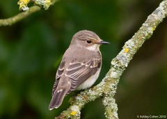 Spotted Flycatcher - New Lens new bird! - Explored! (Ashley Cohen Photography) Tags: summer bird nature wildlife northwales spottedflycatcher canon400mmf56l unitedkingdomuk ef400mmf56lusm canoneos7d rhydymwynvalleynaturereserve