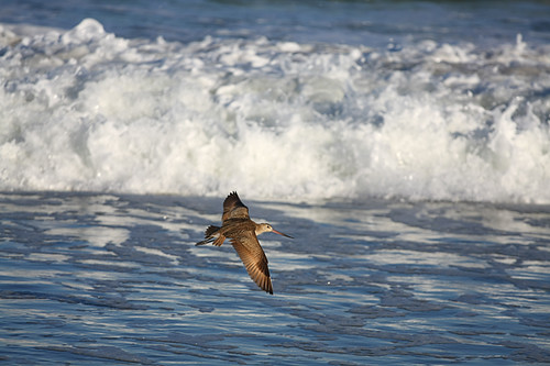 Curlew in flight