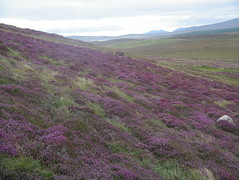 Heather hillside