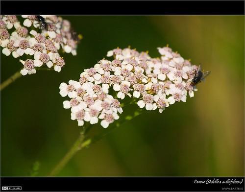 ireland white flower macro insect fly yarrow achillea 1001nights wildflower maynooth kildare achilleamillefolium irishwildflower thebestofday gününeniyisi