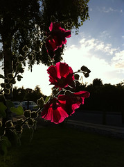 flower at sunset (MatiasSingers) Tags: light flower apple denmark danmark flo aarhus iphone iphone4