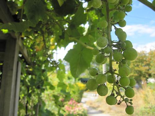 Grapes!